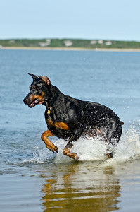Johnson frolicking, Norton Point, Edgartown MA