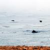 2012-09-23 Cayucos Beach pelicans