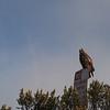 2012-09-23 Cayucos Beach hawk 5