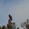 2012-09-23 Cayucos Beach hawk 4