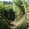 Tahoma Farms supposed corn maze. Actually, trampled path through some type of cane plant