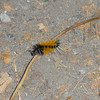 Wooly worm on path of Discovery Park