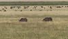 Black rhinos - a very rare sighting
