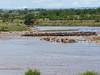 Wildebeest trying to decide to cross the Mara river.  The bodies from the last try in the background.