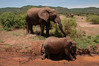 The elephants love mud - keeps the flies at bay