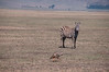 """The Zebra said to the jackal - """"Yeah, right..."""""""