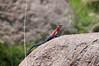 Agama lizard - they were everywhere