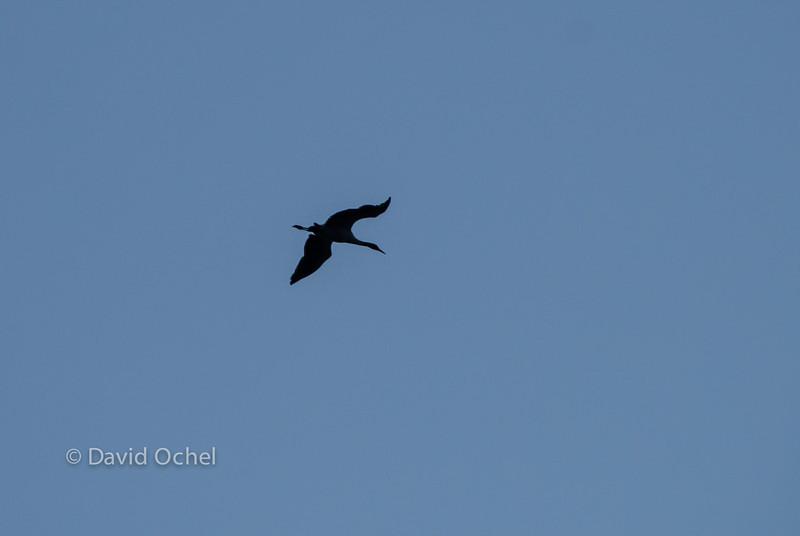 Black-necked crane visiting from Tibet.