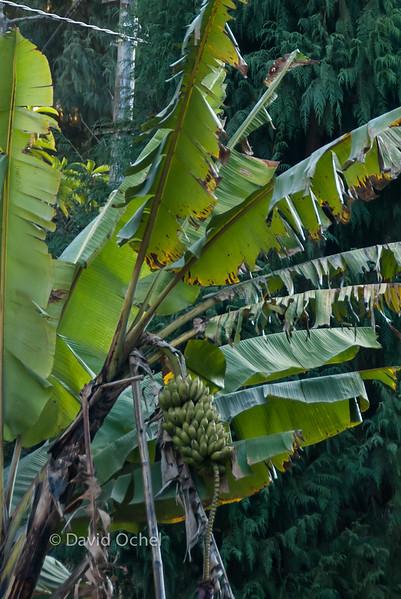 Bananas. (Or plantanes?)