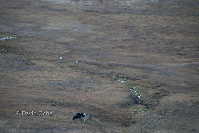 Black-necked cranes in the Phobjikha valley.