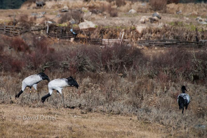 More black-necked cranes.