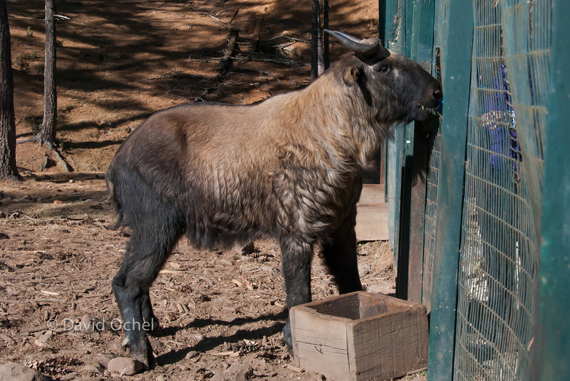 At the Takin Reserve, showing off Bhutan's national animal, the Takin.