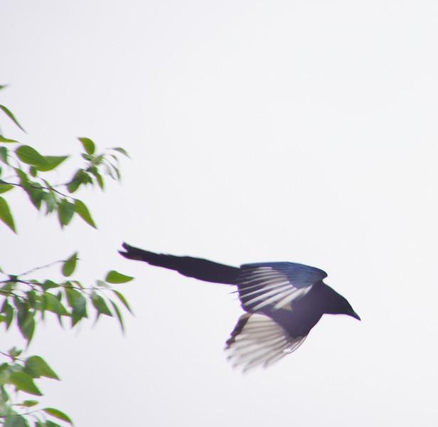 Black-billed magpie - artistic version!