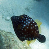 "Whitespotted Filefish<br /> <a href=""http://reefguide.org/carib/whitespottedfile.html"">http://reefguide.org/carib/whitespottedfile.html</a>"