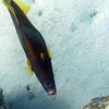 """Whitespotted Filefish<br /> <a href=""""http://reefguide.org/carib/whitespottedfile.html"""">http://reefguide.org/carib/whitespottedfile.html</a>"""