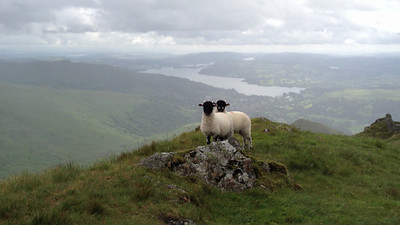 Two sheep (movie) on the ridgeline leading down from Dove Crag to Ambleside, Lakes District, England.