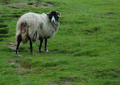 Sheep watch us hike by, on our way to Wansfell Pike, Ambleside, Lakes District, England.