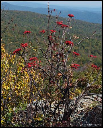 Mountain Ash Berries<br /> Shenandoah NP<br /> <br /> October 12, 2012
