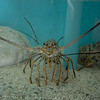 April 6 - Spiny lobster (in an aquarium at the turtle farm)