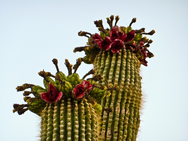 Saguaros in bloom, June 2012