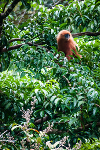 MONKEY - red leaf-0948