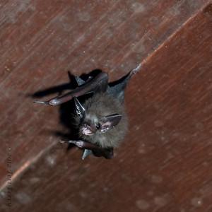 BAT -0681