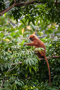 MONKEY - red leaf-0889