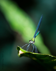 INSECT - dragonfly-1780