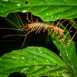 INSECT - centipede-1550