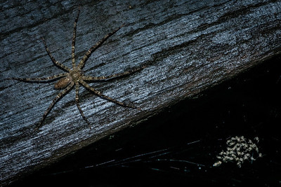 SPIDER 1507- protecting her babies-2