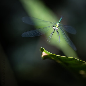 INSECTS - dragonfly-1781