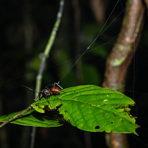 INSECT - jungle ant escaping web-1590