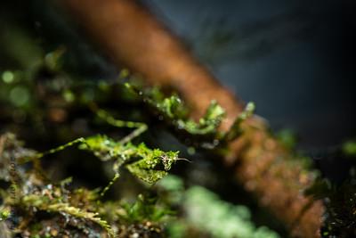 INSECT - tiny praying mantis -1217