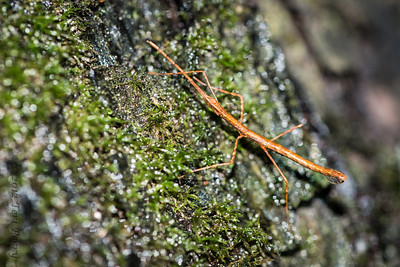 INSECT - tiny stick insect-1196