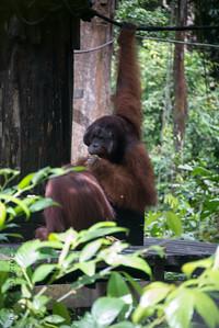 APES - Orangutan @ Sepilok-0131