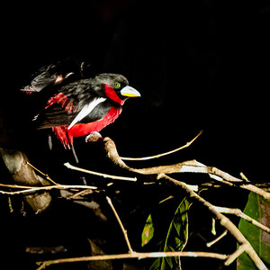 BIRDS - black and red broadbill (angry bird)-0167