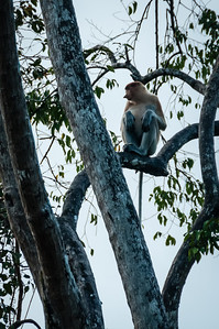 MONKEYS - proboscis-9987