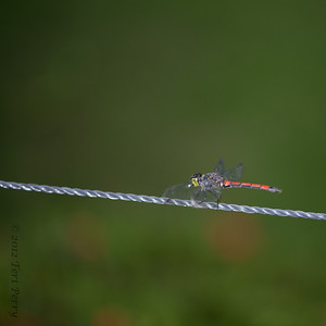 INSECTS - dragonflies-0311