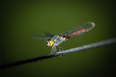 INSECTS - dragonflies-0317