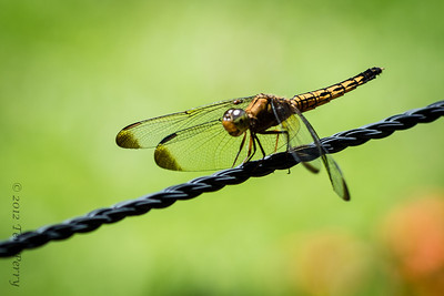 INSECT - dragonfly-0232