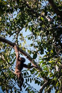 MONKEY - gibbon-36