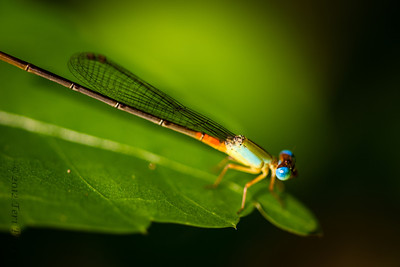 INSECTS- dragonfly-0465