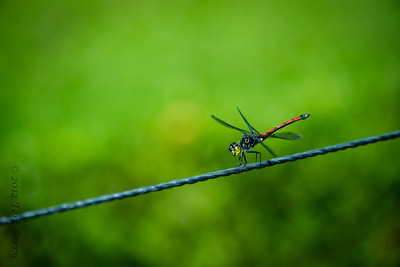 INSECTS- dragonfly-0444