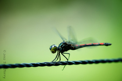 INSECTS - dragonflies-0326