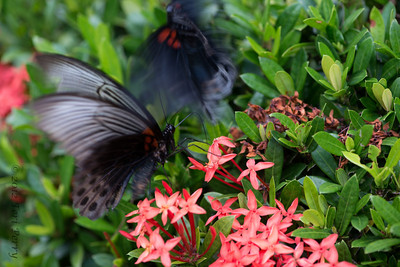 INSECTS - butterflies-0288