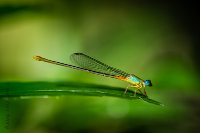 INSECTS- dragonfly-0471