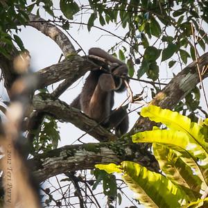 MONKEY - gibbon-0350