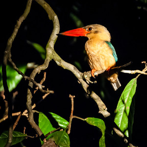 BIRDS - b  stork billed kingfisher-41