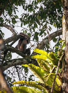 MONKEY - gibbon-0357