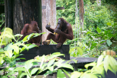 Sepilok is an orang utan preserve where they rehabilitate babies so they can be re-introduced to the wild-- we were very lucky that a male came t the end of the feeding